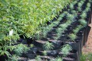RedSun Hortitech Nursery | Tzaneen , Limpopo indigenous trees