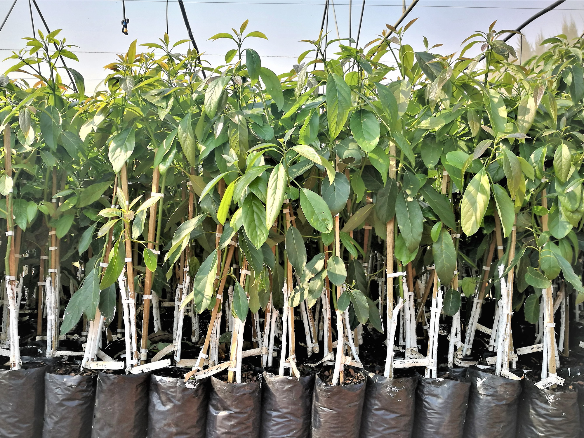 Avocado RedSun Hortitech Nursery | Tzaneen , Limpopo
